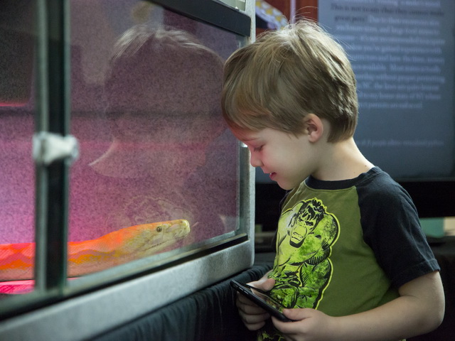 A young visitor admires a visiting boa constrictor at Reptile and Amphibian Day. Photo: Karen Swain/NCMNS.