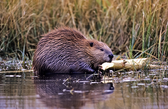 Beaver chewing on a branch in a Wyoming pond.