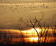 Snow geese at sunset. Photo: Melissa Dowland/NCMNS.