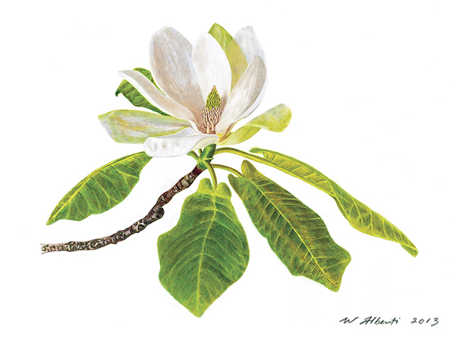 Mountain Magnolia by W.T. Alberti