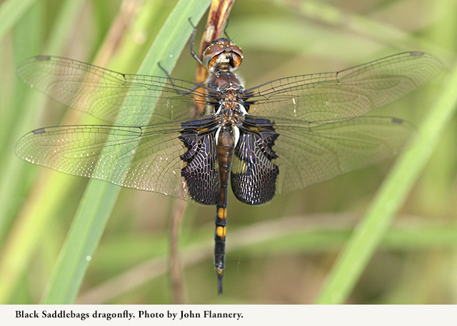 Black Saddlebags dragonfly. Photo by John Flannery.