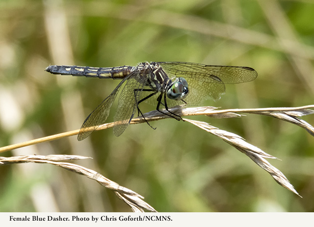 Female Blue Dasher. Photo by Chris Goforth.
