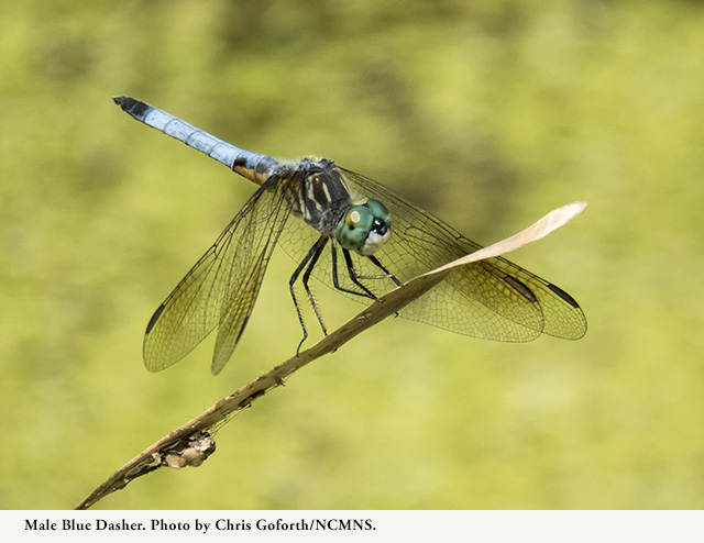 Male Blue Dasher. Photo by Chris Goforth.