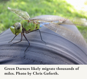 Green Darners likely migrate thousands of miles. Photo by Chris Goforth.