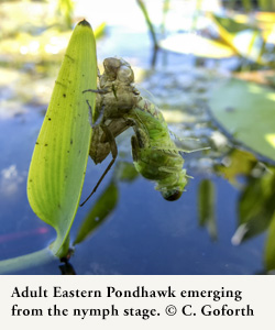 An adult Eastern Pondhawk emerging from the nymph stage. Photo by Chris Goforth.