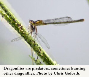 Dragonflies are predators, sometimes hunting other dragonflies. Photo by Chris Goforth.