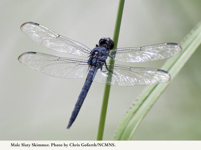 Male Slaty Skimmer. Photo by Chris Goforth.
