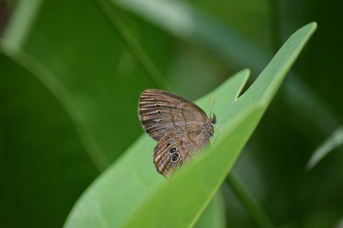 Saint Francis' satyr butterfly