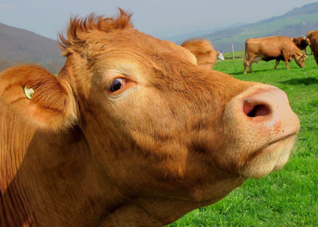brown-cow-mammal-animal