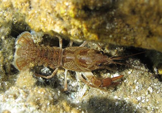 Marbled crayfish. Photo by Alexander Mrkvicka, Wikimedia Commons