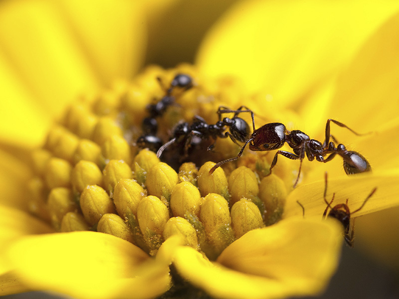 Solenopsis xyloni ant by Clint Penick.
