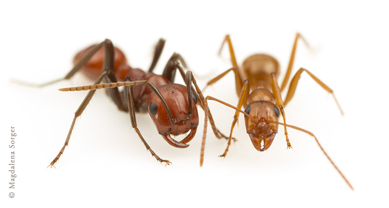 Ants photographed by Magdalena Sorger.