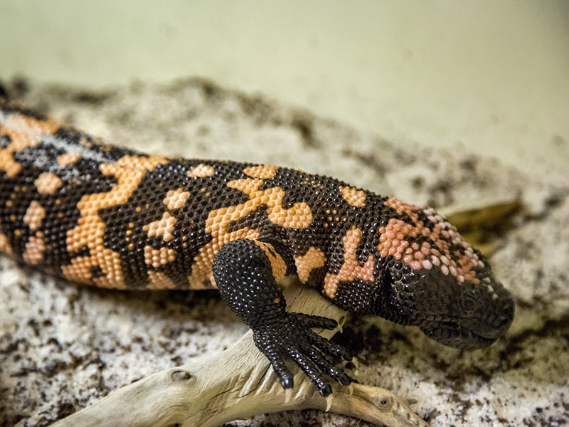 Gila monster at Reptile and Amphibian Day 2016.