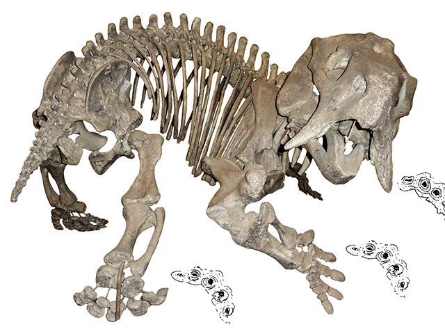 Skeleton of the dicynodont Placerias, a close relative of the newly-discovered Pentasaurus, with dicynodont trackways (Pentasauropus).