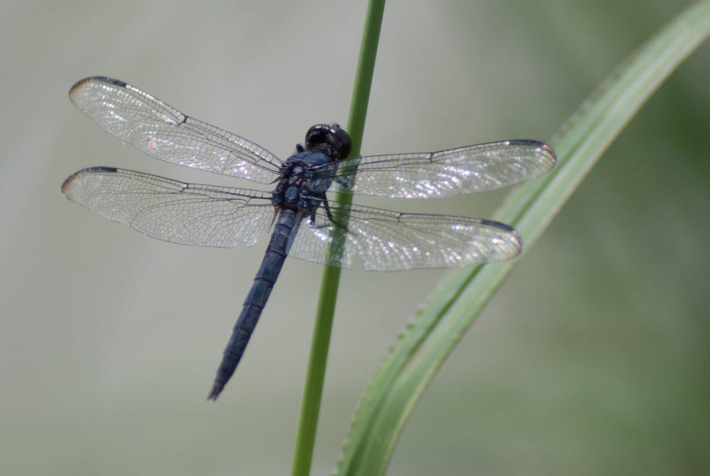 slaty skimmer dragonfly