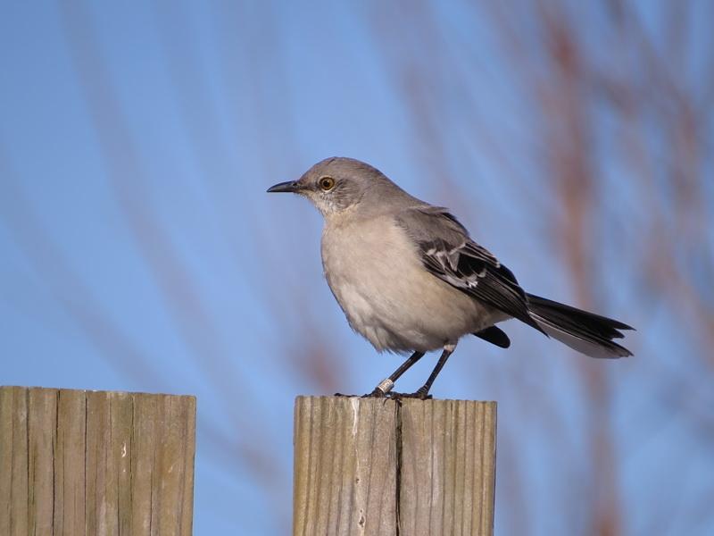Northern Mockingbird sitting on a post.