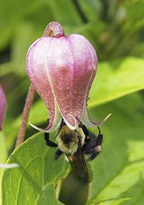 Bumblebee on Clematis flower by Nancy Lee Adamson