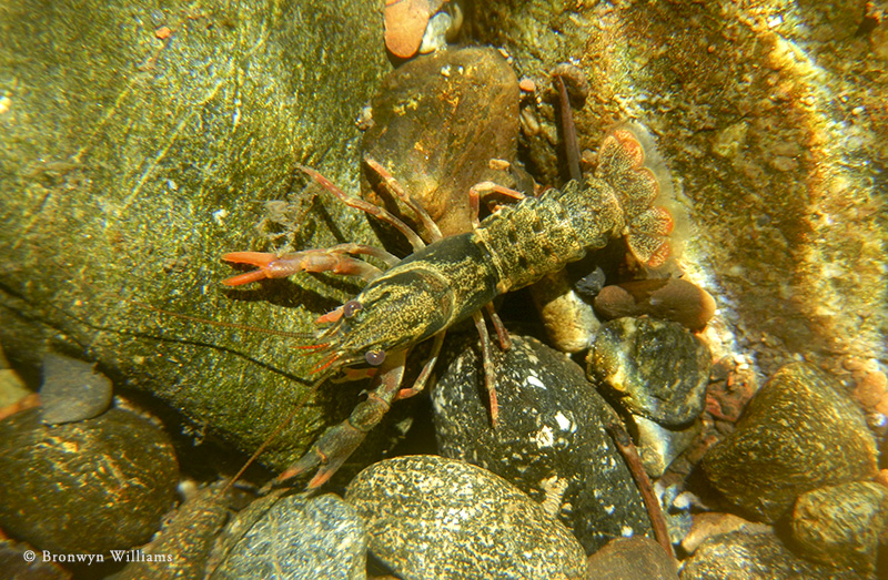 Juvenile signal crayfish camouflaged on a stream bed.