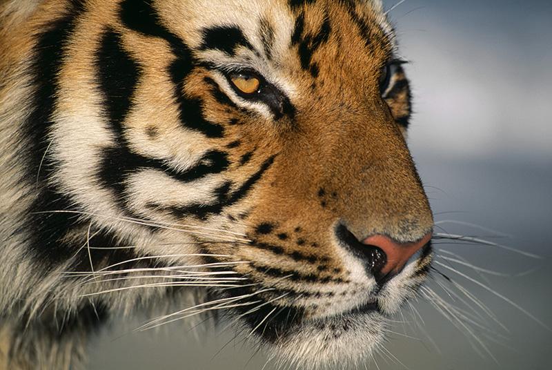 Bengal Tiger closeup