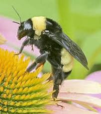 Bumblebee. Photo by Bob Palmatier.