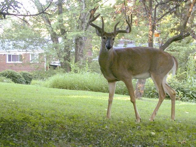 Suburban deer