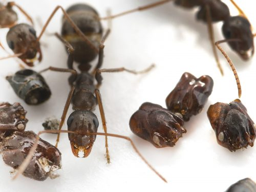Meet Florida's skull-collecting ant