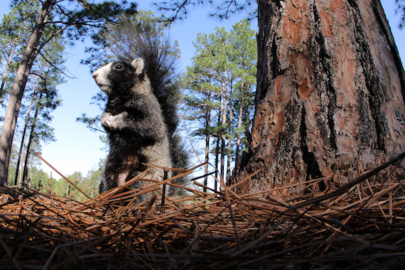 A southeastern fox squirrel from the Sandhills of North Carolina