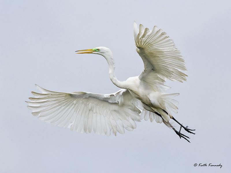 Great Egret - High Island, by Keith Kennedy