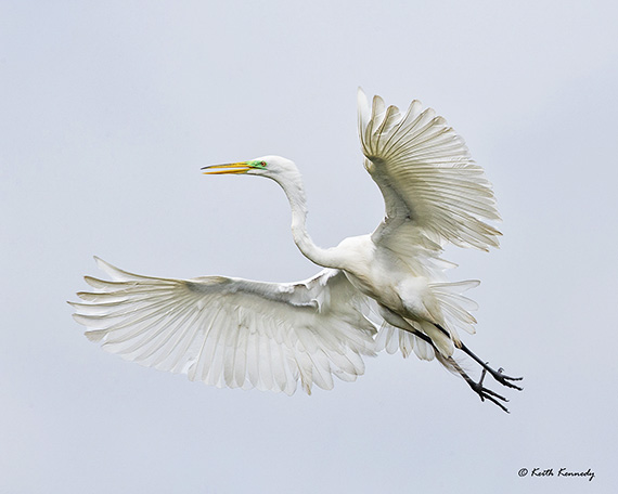 Great Egret over High Island by Keith Kennedy