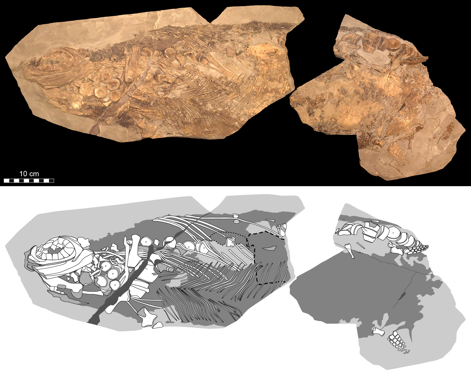Cells, cellular organelles and original biomolecules have been discovered in preserved soft parts of an approximately 180-million-year-old ichthyosaur (literally 'fish-lizard'). Photographic (top) and diagrammatic (bottom) representation of the 85-cm-long fossil (which corresponds to roughly half of the original length of the animal).