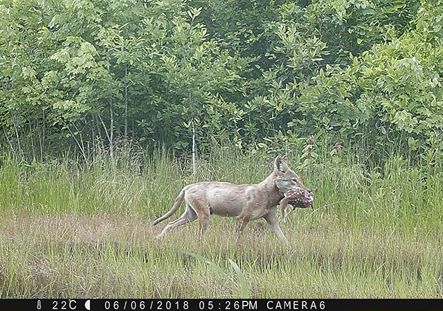 A coyote captured on camera trap preying on a deer fawn. Credit: Dr. Aimee P. Rockhill (Western Carolina University) and Dr. Christopher S. DePerno (North Carolina State University)