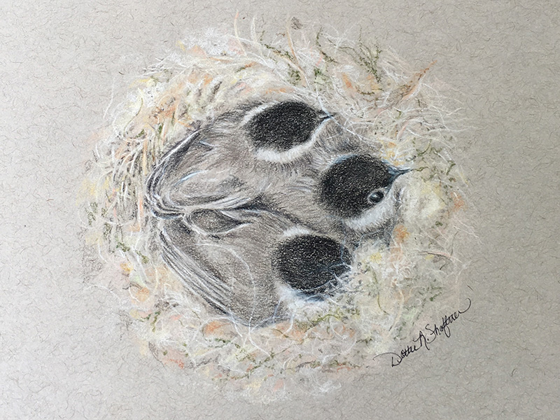 Chickadee chicks in nest by Dottie Shaftner.