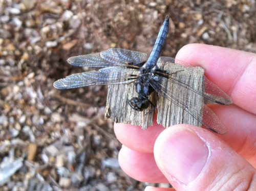 Spring brings blue corporal dragonflies to NC