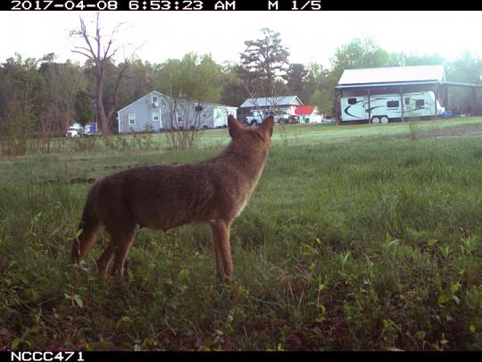 A citizen scientist's camera trap captured this image of a coyote near a house in Raleigh, North Carolina. Image: eMammal Project.