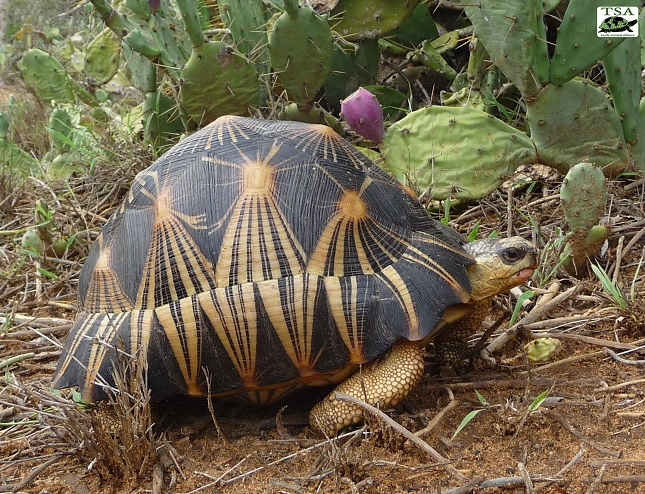 Radiated Tortoises are critically endangered and need a multi-national conservation initiative taken on their behalf. Photo: Brian Horne