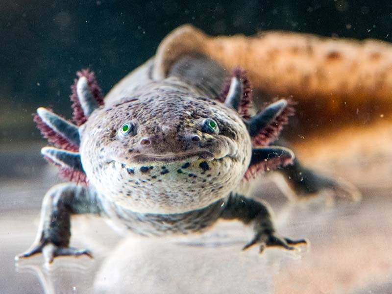 Axolotl have 6 appendages on the sides of their heads