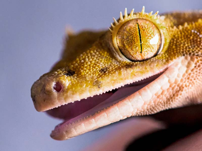 Crested gecko shows off his dazzling green and yellow specked eyes