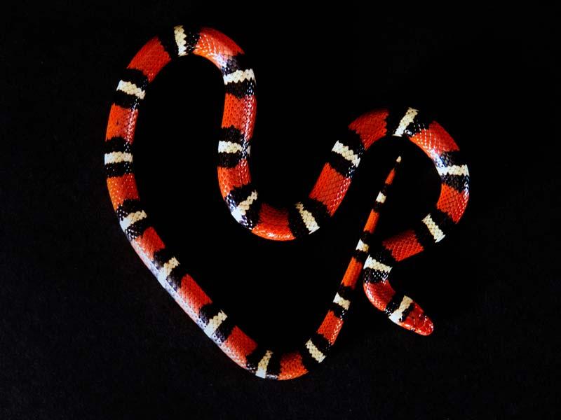 Scarlet king snake has a pattern of red, black, white, black, red, black, etc.