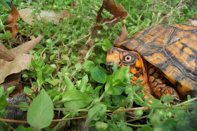 Eastern box turtles are forest dwellers and feed on a wide variety of plants, fungi, and small animals such as insects or slugs.