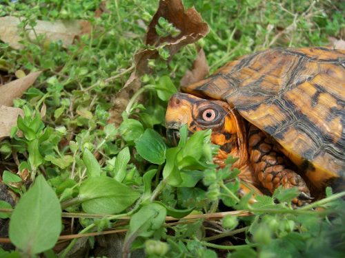 World Turtle Day: The Eastern Box Turtle