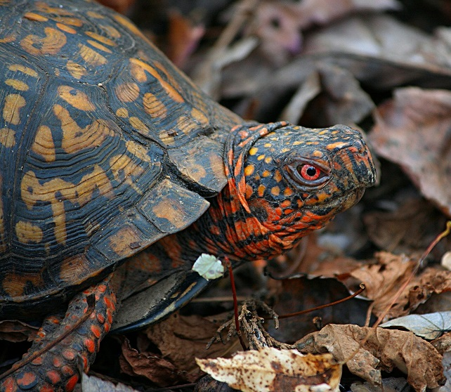 Box turtles have a hooked upper jaw, and most have a significant overbite. Their feet are slightly webbed.