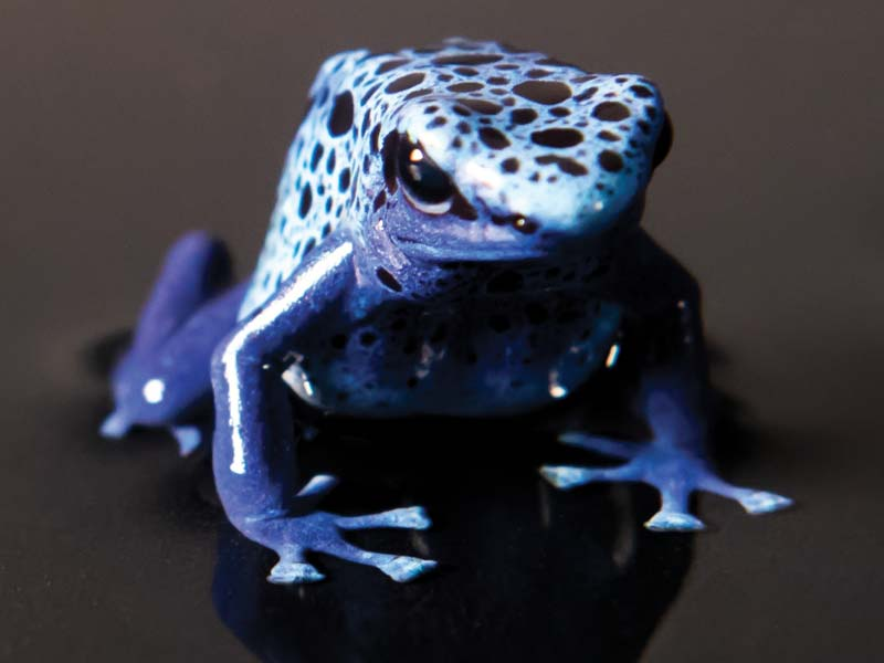 Poison dart frogs come in vibrant colors like blue, red, and yellow