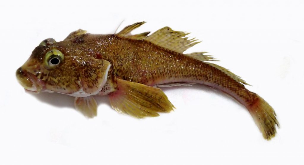 Gobionotothen gibberifrons, a common Antarctic notothenioid fish. Photo: A. Dornburg.
