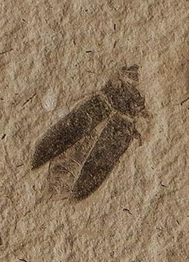 Capnodis antiqua - fossilized beetle. (Photo: Wikipedia user Ghedoghedo).