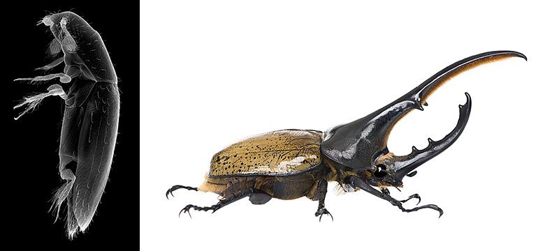 Scydosella musawasensis and Hercules beetles.