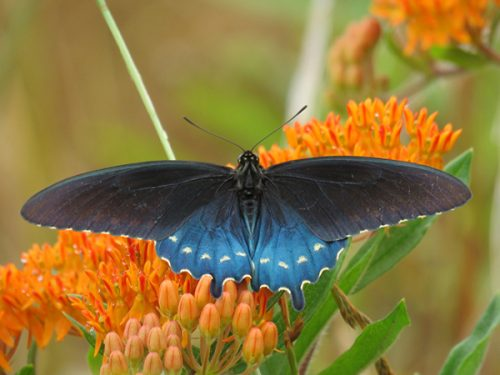 What Time Is It In Nature: Pipevine Swallowtail