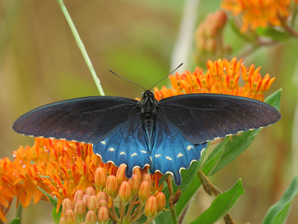Pipevine Swallowtail Adult with velvety blue, black and yellow wings