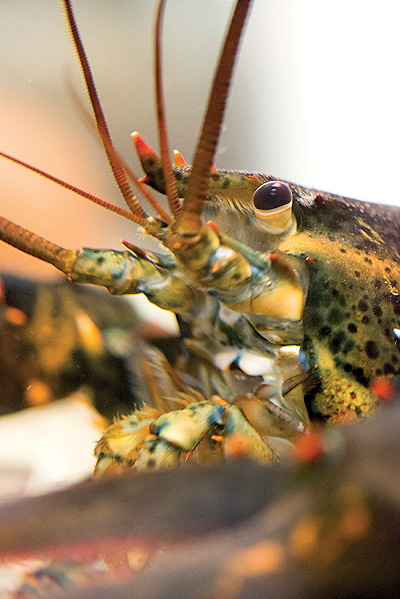 the beautiful face of our lobster is speckled with different colors from blue to green to orange. Wow!