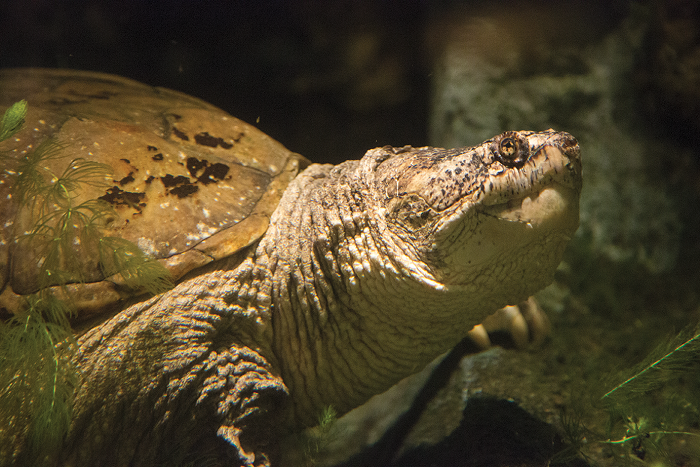 The glowing orange eyes and pale yellow skin of the snapping turtle are shown off by low-light.