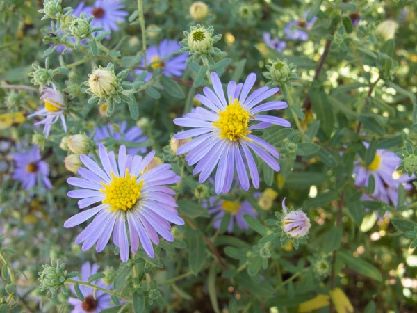 Purple asters are a beautiful glowing periwinkle color with yellow centers.